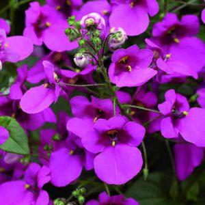 Amppelidiana - Amppeli- ja riippukasvit