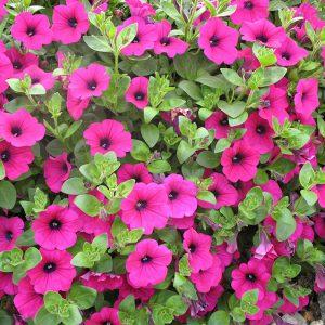 """Petunia """"Million Bells"""" - Ampel- och hängväxter"""