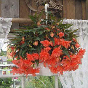 Karelsk-jungfru - Ampel- och hängväxter