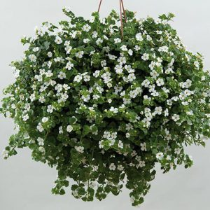 Snöflinga - Ampel- och hängväxter