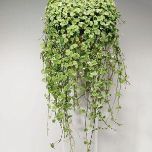 Jordreva - Ampel- och hängväxter