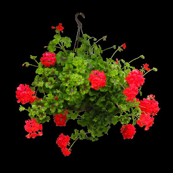 Pelargonia - Amppeli- ja riippukasvit
