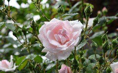 Plantering av rosor