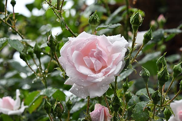 Ruusujen istutus