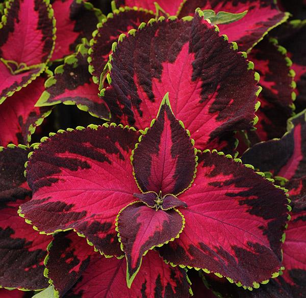 Värinokkonen - Ruukkukasvit