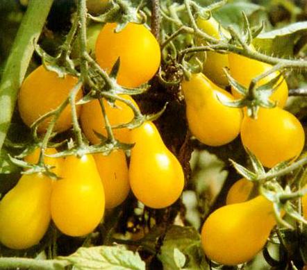 Päärynätomaatti Yellow Pearshaped
