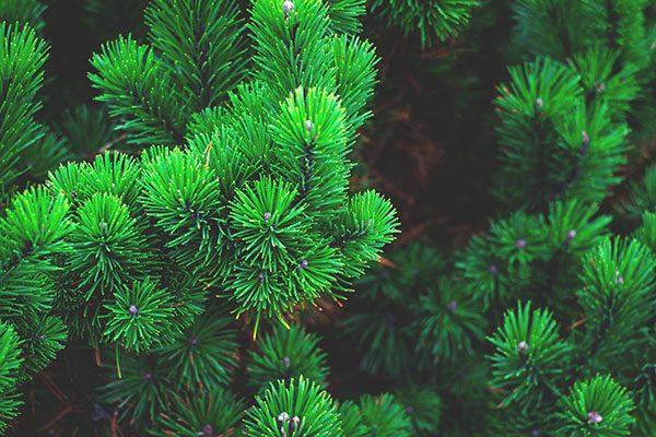Havupuut - Söderblomin puutarha