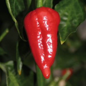 "Chilipaprika ""Cresto Red"""