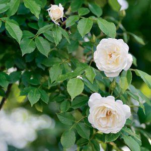 Köynnökset ja ruusut
